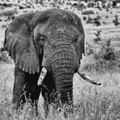 Bull on the Serengeti